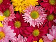 colourful-gerbera-daisy-9c[1].jpg
